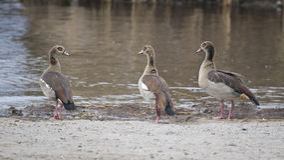 由水` s的三只埃及鹅渐近在土的身分 免版税库存图片