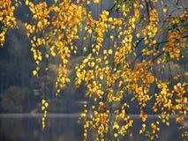 由Deer湖的垂悬的明亮的黄色叶子, 免版税库存照片