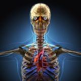 由X-射线的人体在蓝色背景 向量例证