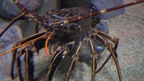 甲壳动物的爬行的水中 股票录像