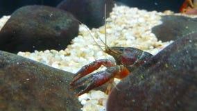 甲壳纲是无脊椎动物并且属于节肢动物类  股票视频