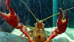 甲壳纲是无脊椎动物并且属于节肢动物类  影视素材