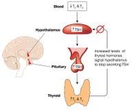 甲状腺激素生产控制  皇族释放例证
