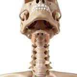 甲状舌骨肌 库存例证