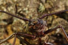 甲虫口须的头 免版税图库摄影