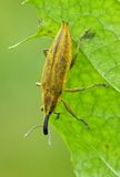 甲虫口鼻部 库存图片