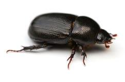 甲虫可以 免版税库存图片