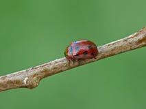 甲虫叶子 库存图片