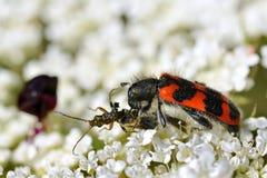 甲虫吃昆虫的Trichodes 库存照片
