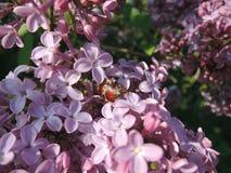 甲虫和丁香 库存图片