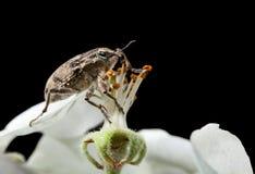 甲虫和杵 免版税图库摄影