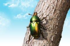 甲虫圣诞节 免版税库存图片