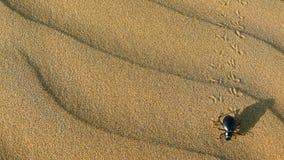 甲虫在塔尔沙漠,印度 库存照片
