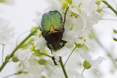 甲虫在白花的cetonia aurata 免版税库存照片