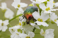 甲虫在白花的cetonia aurata 库存图片