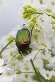 甲虫在白花的cetonia aurata 库存照片
