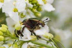 甲虫在白花的cetonia aurata 免版税库存图片