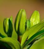 甲虫在百合绿色芽的nezara viridula 免版税库存照片