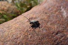 甲虫在石头 库存图片