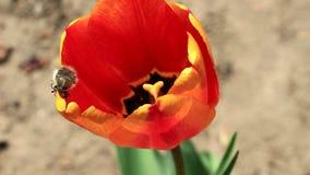 甲虫在花爬行 股票视频