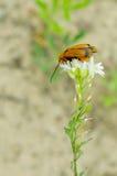 甲虫坐与半被打开的翼的一朵花 库存照片