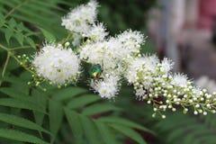 甲虫坐开花的柠檬香茅 免版税库存图片