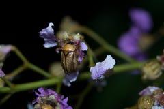 甲虫夜宏指令摄影 库存图片