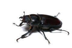 甲虫大接近的母照片雄鹿 免版税库存图片