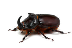 甲虫大查出的独角兽白色 免版税库存图片