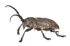 甲虫女妖textor织工 免版税图库摄影