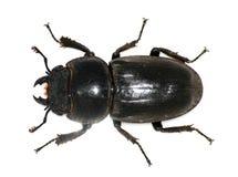 甲虫女性雄鹿 库存图片