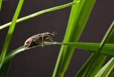 甲虫宏指令在草刀片的 免版税库存照片