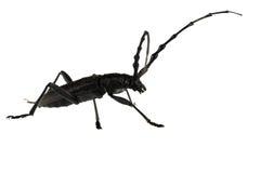 甲虫山羊座 库存图片