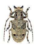 甲虫山羊座curculionoides mesosa 库存照片