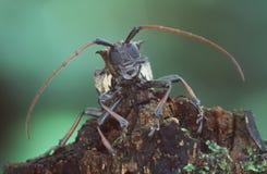 甲虫巨人 库存照片
