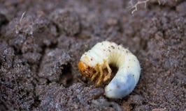 甲虫幼虫可以 库存照片