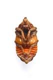 甲虫幼虫 库存照片