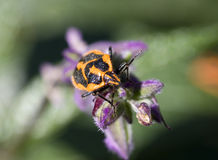 甲虫恶臭 库存图片