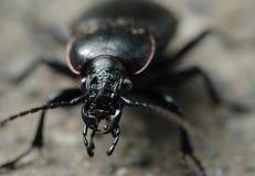 甲虫接近的宏指令 图库摄影