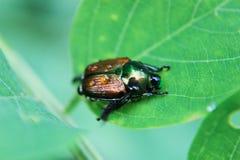 甲虫日语 库存图片