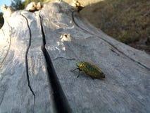 甲虫时间 库存照片
