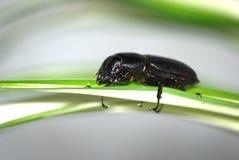 甲虫昆虫叶子 库存图片