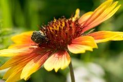 甲虫是花蜜坐与明亮地红色黄色瓣的一朵花 在色的背景 宏指令 库存照片