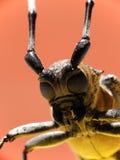 甲虫有角的长的宏指令 库存照片