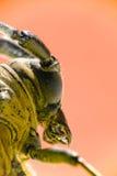 甲虫有角的长的宏指令 免版税库存图片