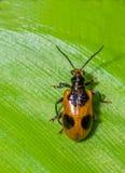 甲虫有绿色叶子背景 免版税库存照片