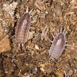 甲虫木虱子本质上 免版税图库摄影