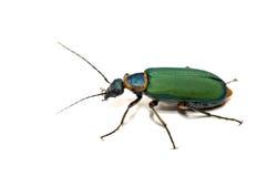 甲虫查出的白色 免版税库存照片
