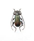甲虫查出长角牛金属白色 免版税库存照片