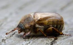 甲虫欧洲6月 免版税库存图片
